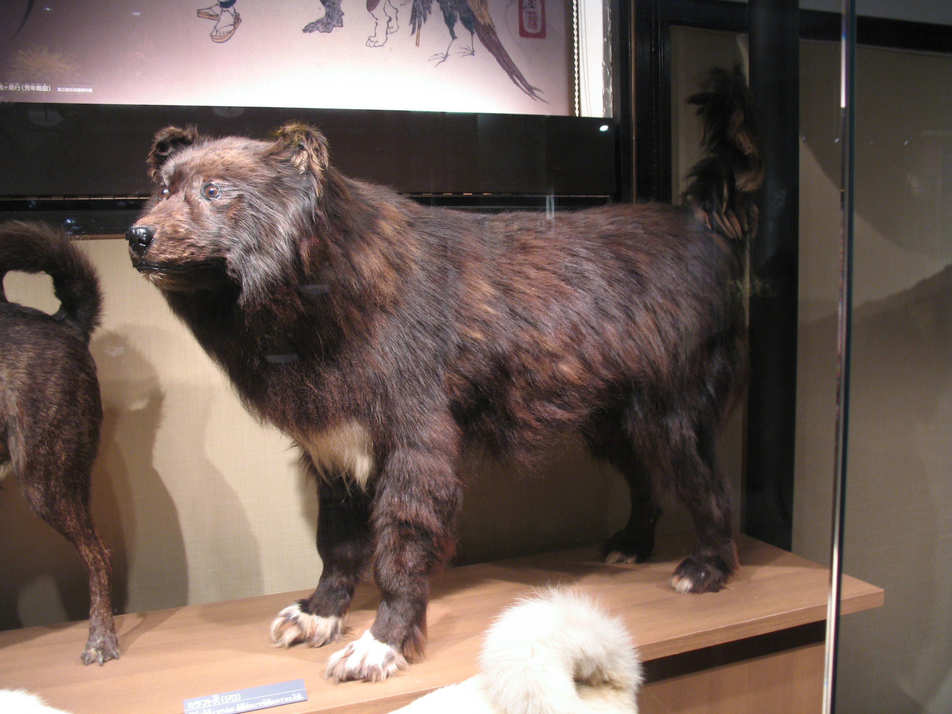 Buryat-Mongolian Wolfhound: breed description, characteristics and features 36