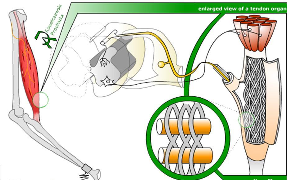 Intro. a la Neurociencia III : Reflejos medulares I | Mediavida