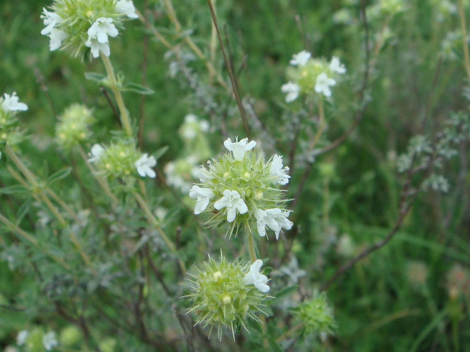 majoram herb