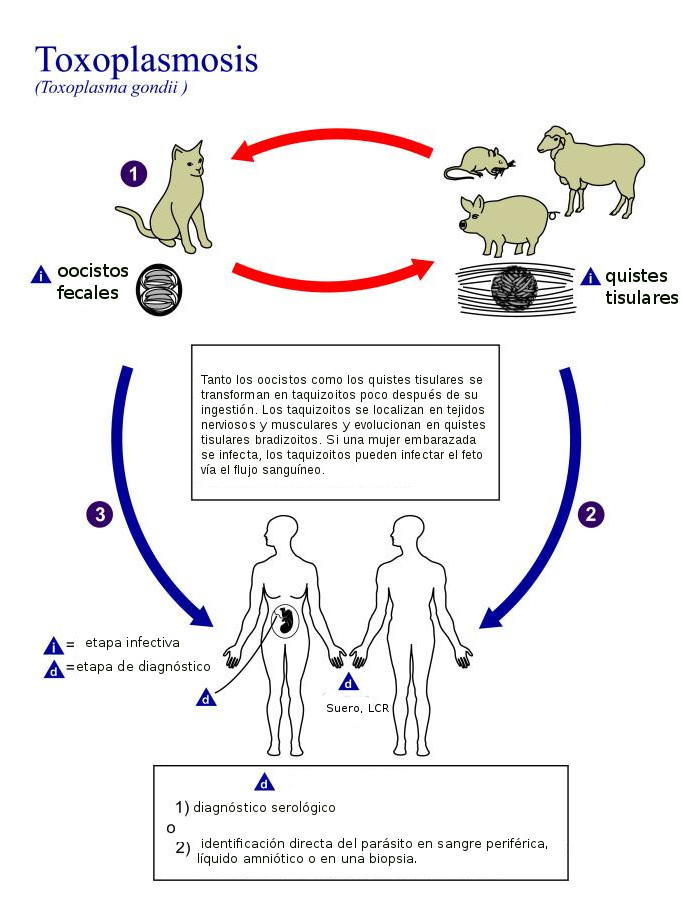 Toxoplasmosis-embarazo