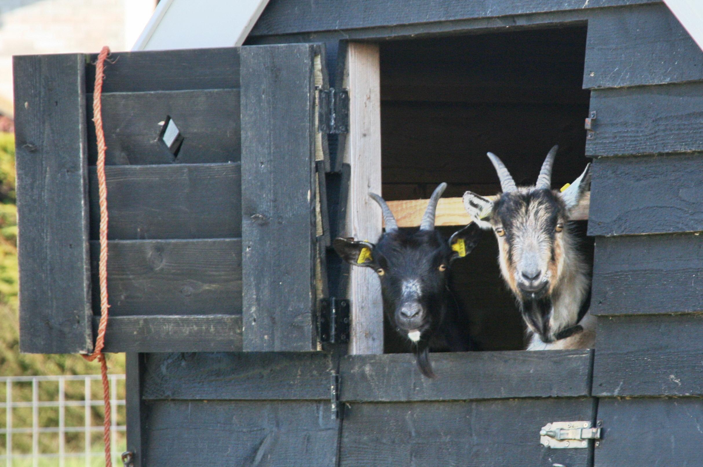 File twee geiten in een wikimedia commons - Een hok ...