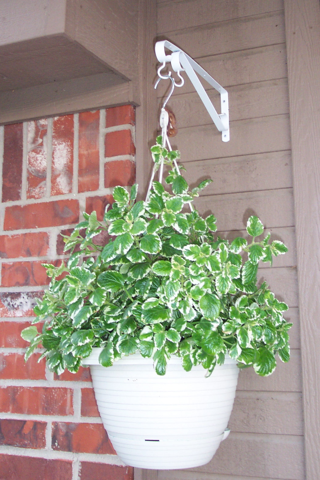 Flower Varieties For Hanging Baskets : File unidentified plant in hanging basket g wikimedia