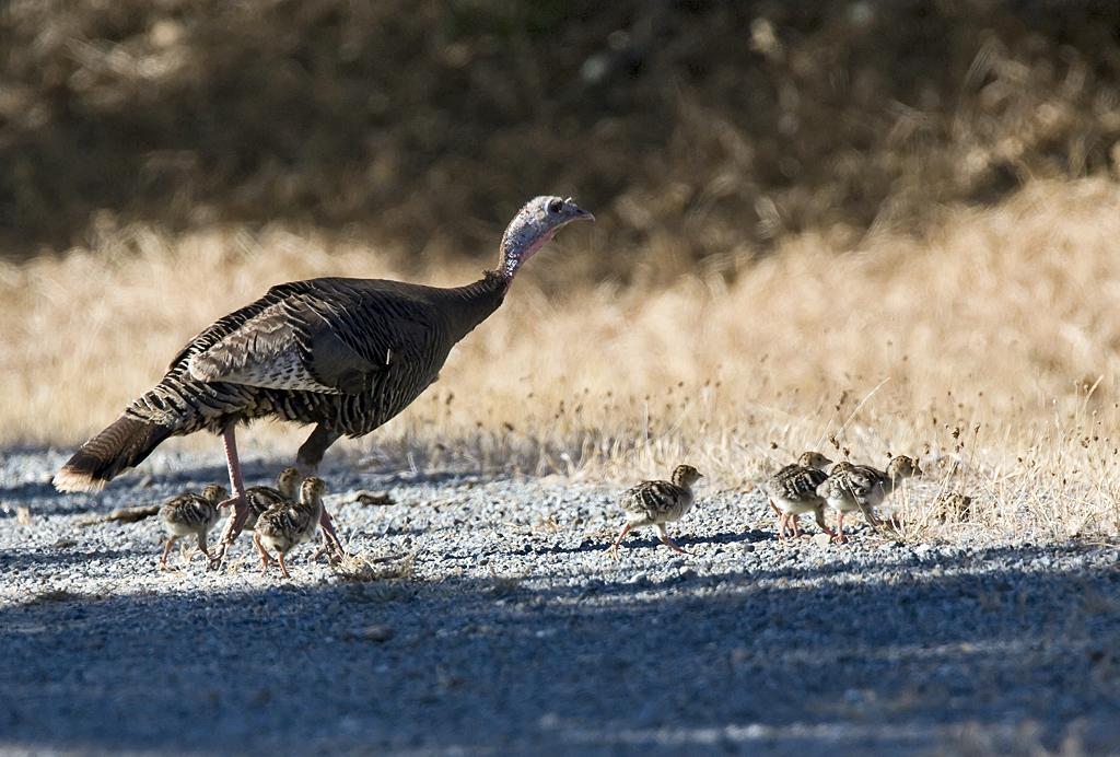 Wild turkey - Wikipedia