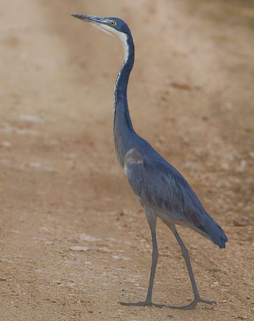 Black headed heron - photo#26