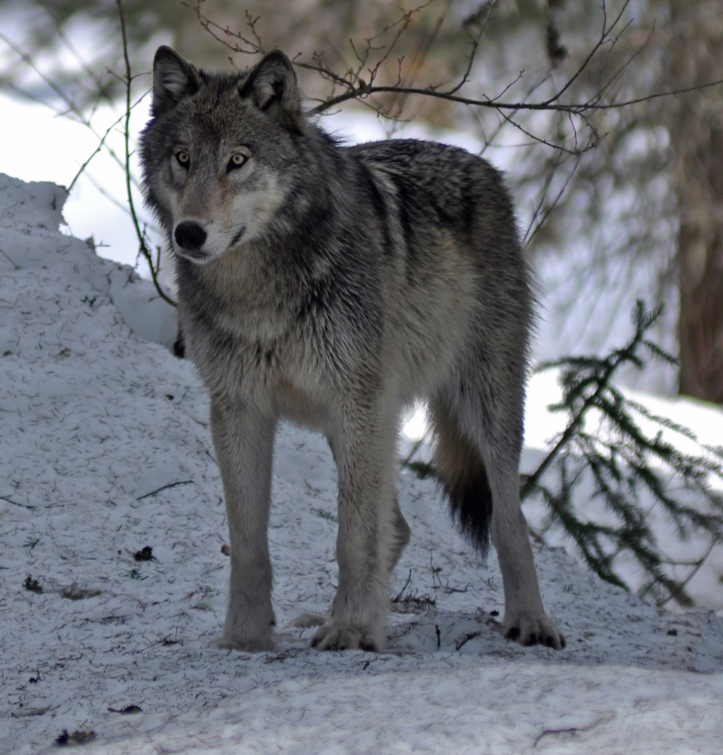 https://upload.wikimedia.org/wikipedia/commons/a/ad/4-10-12-wolf-1_%28cropped%29.jpg