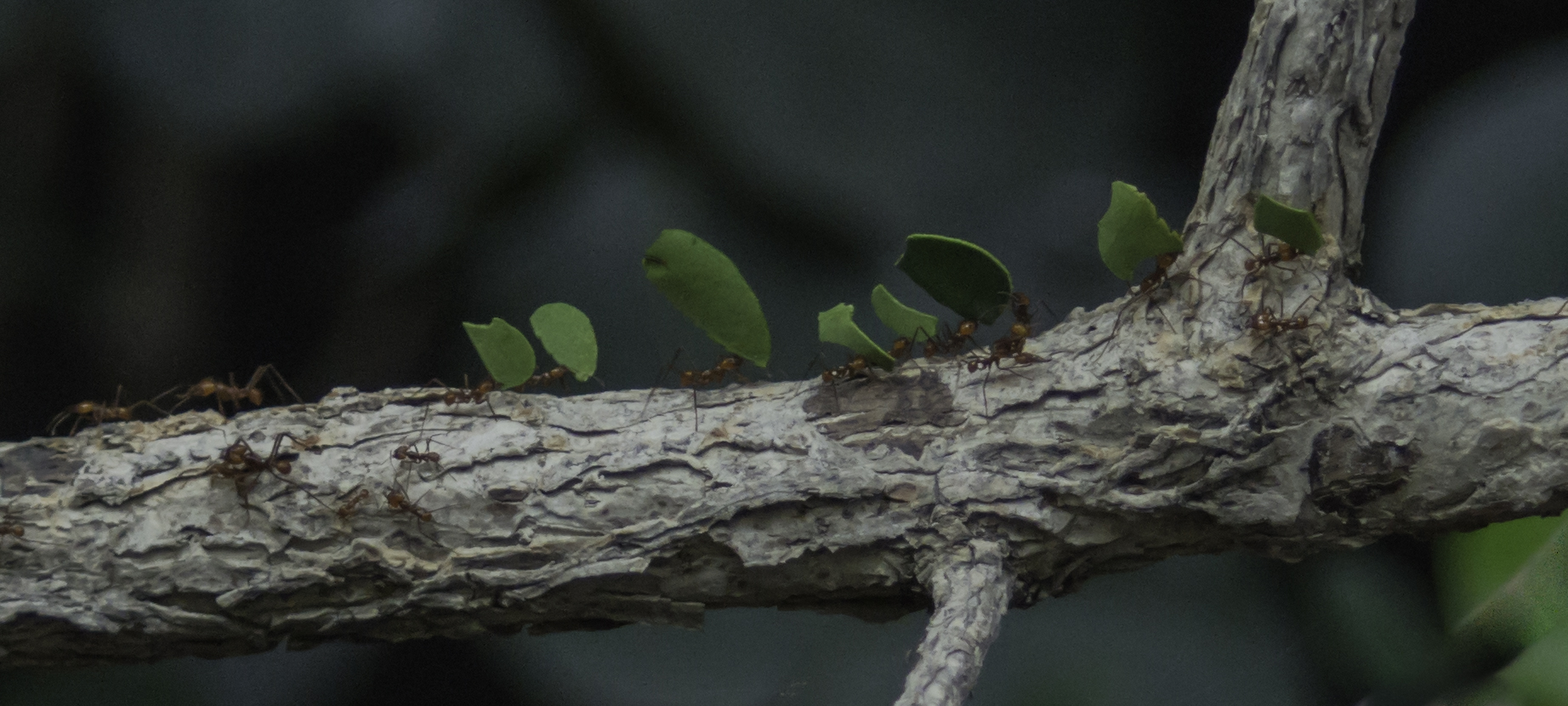 Atta sexdens at work - mushroom ants carrying pieces of leaf