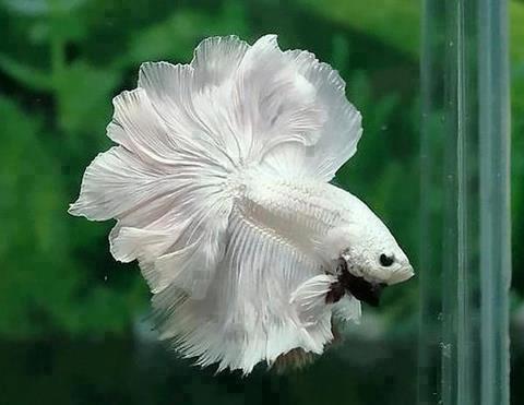 File:Betta splendens,white.jpg
