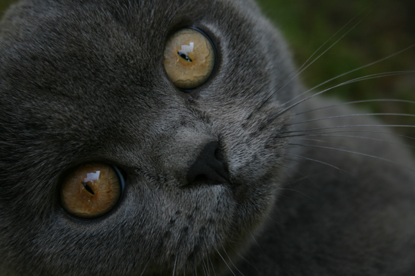 Fitxer:British blue close up.jpg
