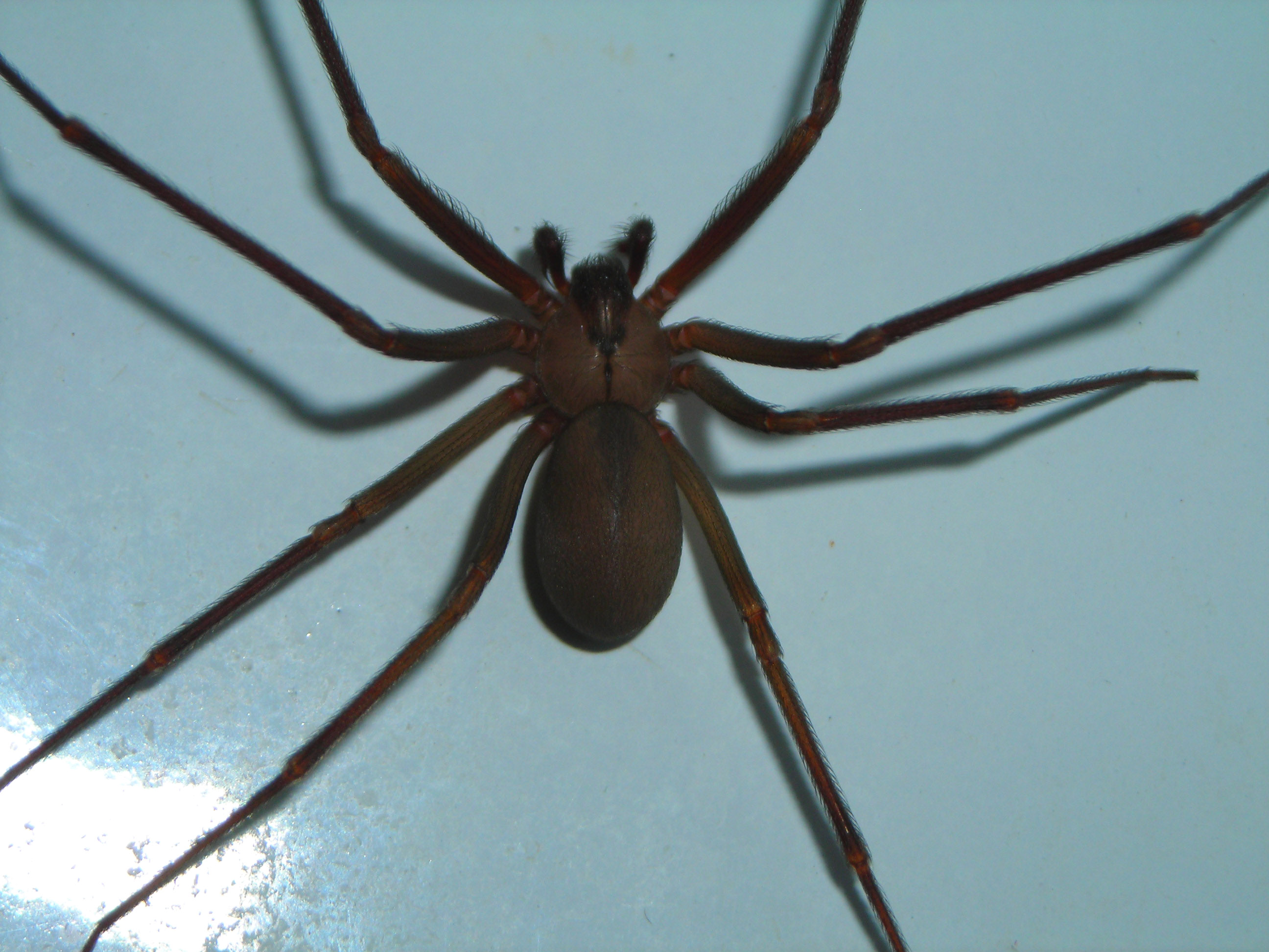 Spider Release Date >> File:Brown-recluse-1.jpg - Wikimedia Commons