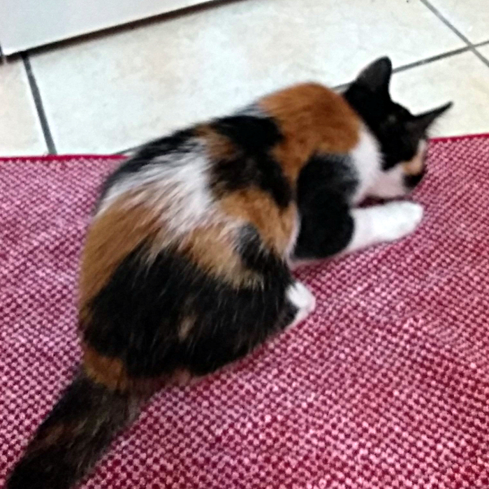 Calico Cat With Interesting Gps >> File Calico Kitten Jpg Wikimedia Commons
