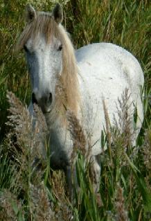 Camargue-Pferd-28-9-2006-17h03.jpg