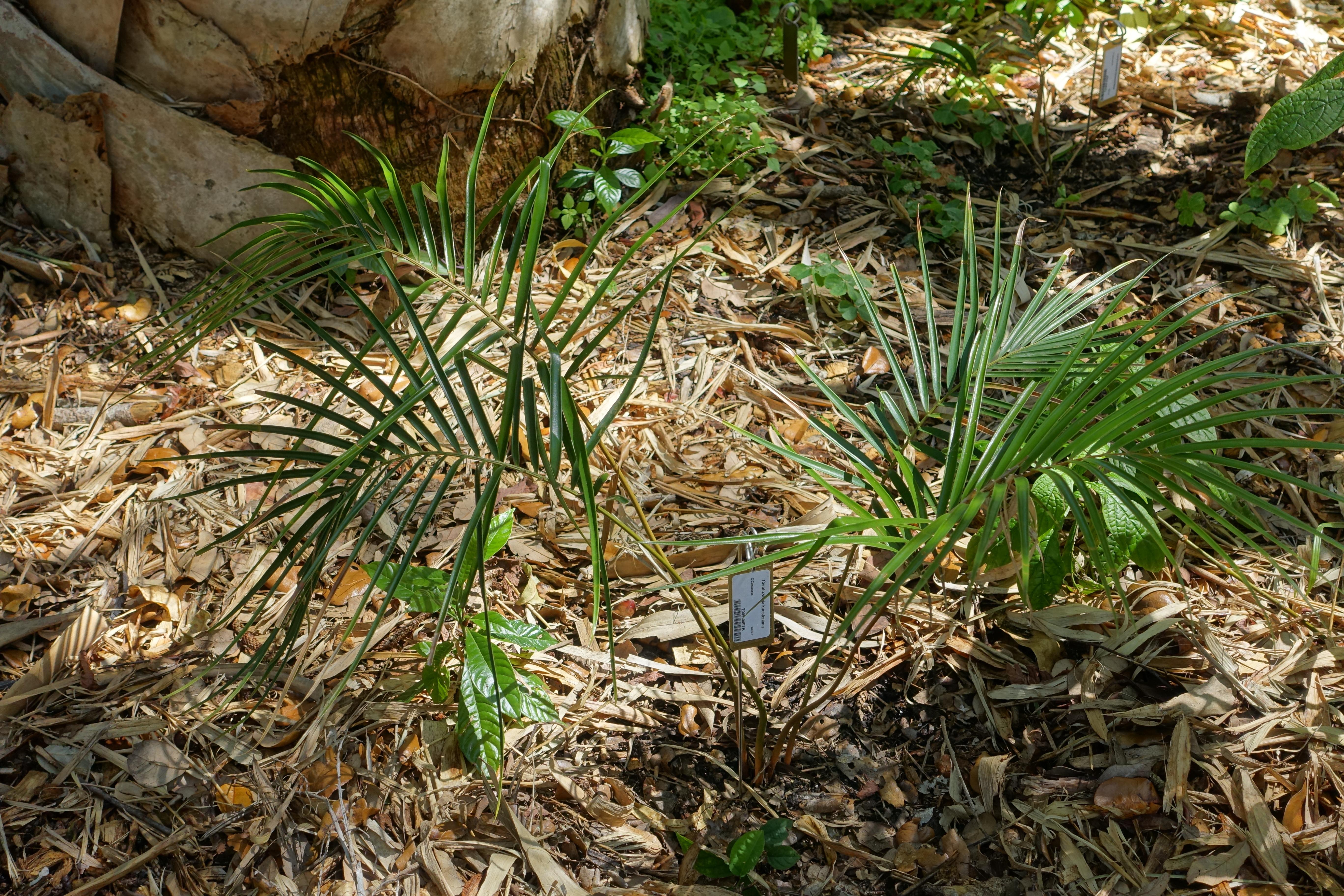 File:Ceratozamia kuesteriana - Marie Selby Botanical Gardens ...