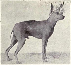 Chinese Crested Dog from 1915