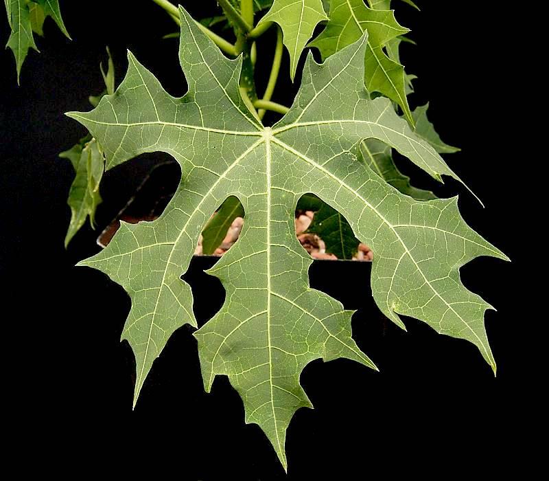 Chaya plant green leaf