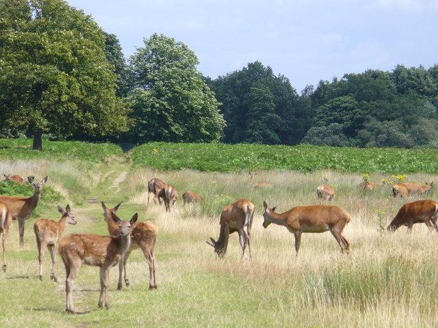 Deer in Richmond Park - geograph.org.uk - 507397