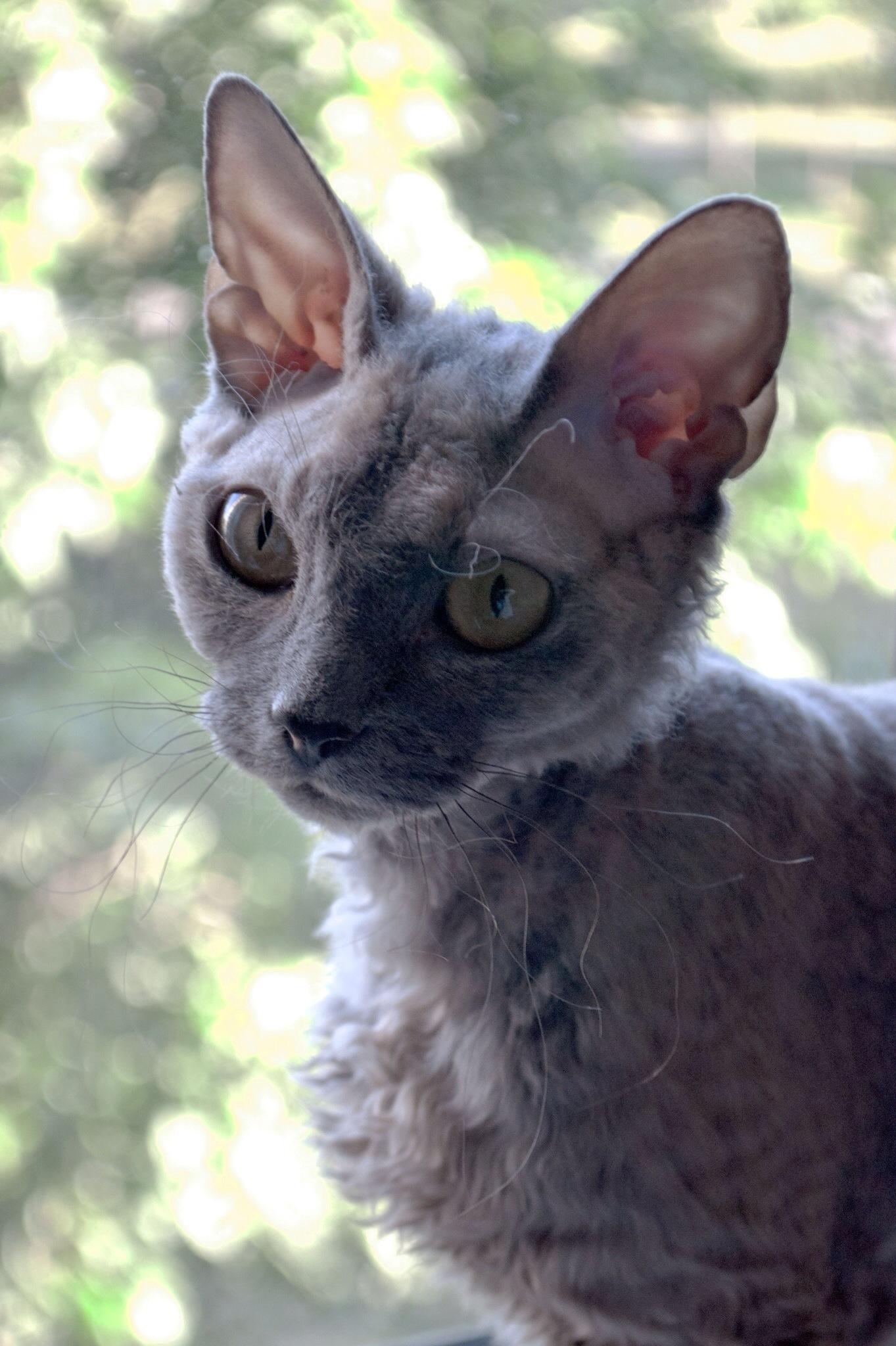 Devon Rex Cat Breeders Uk