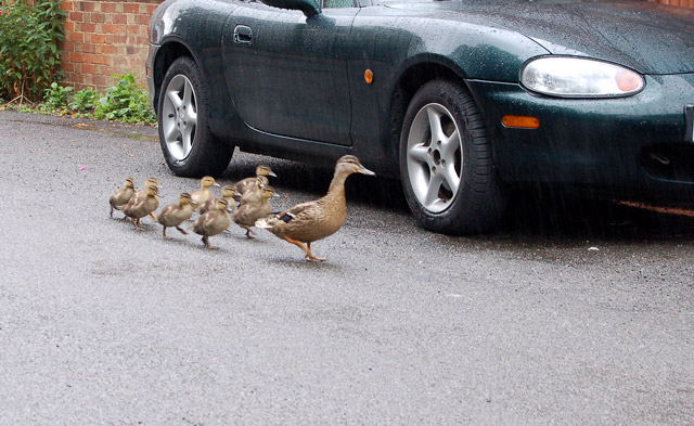 Ducklings in Lower Street, Willoughby - geograph.org.uk - 1395991