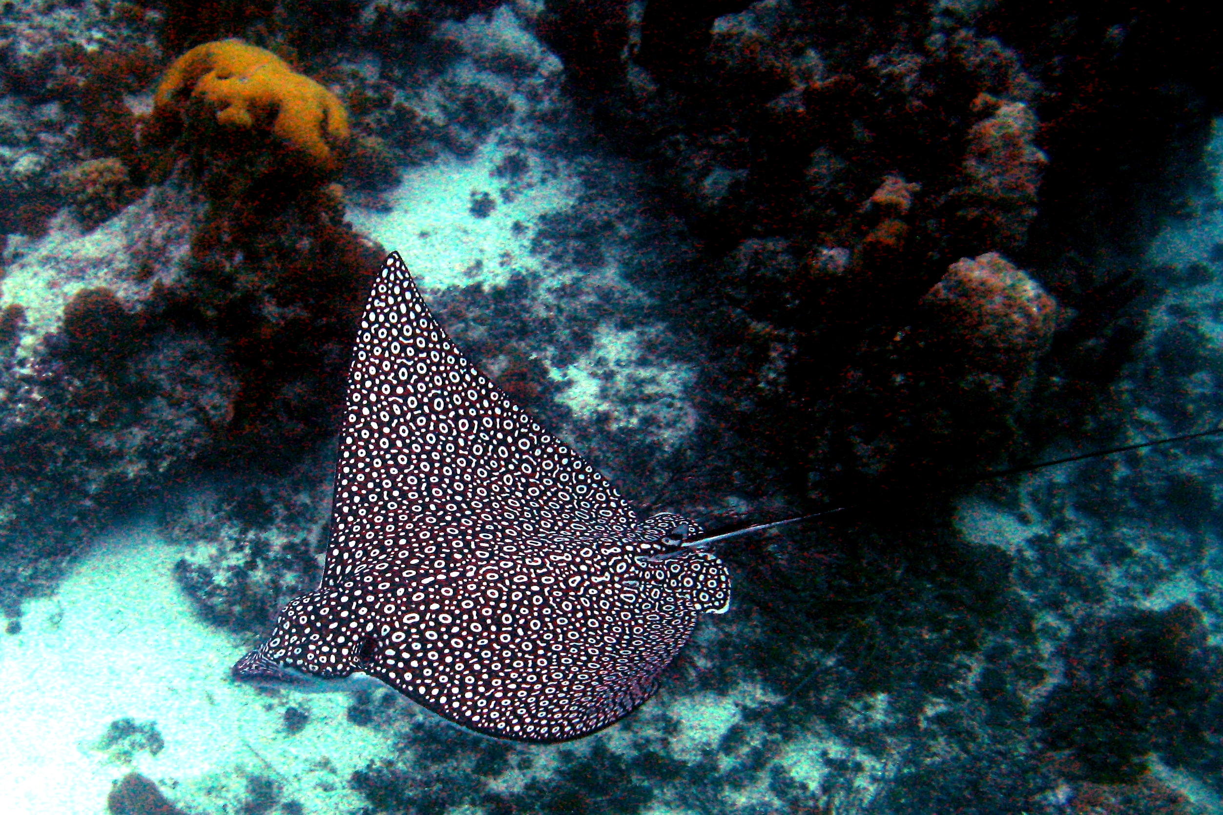 Spotted eagle ray coloring pages - When The Camouflage Fails Spotted Eagle Rays