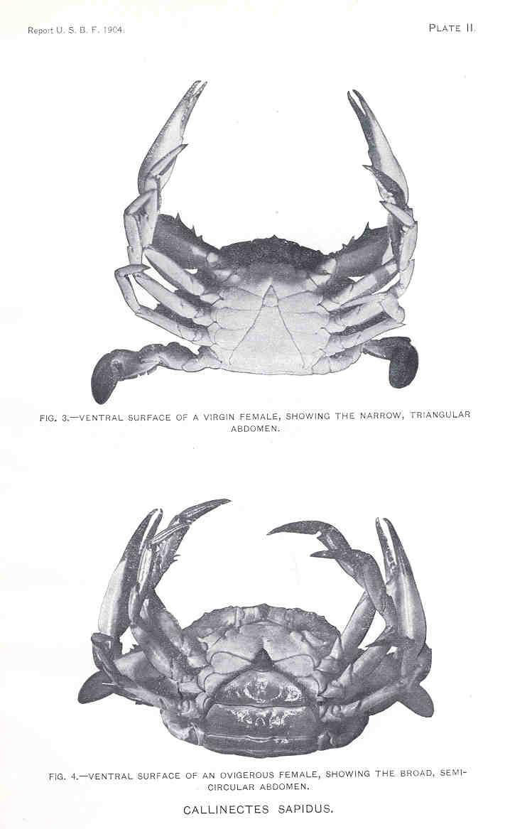 File:FMIB 33426 Callinectes sapidus.jpeg - Wikimedia Commons