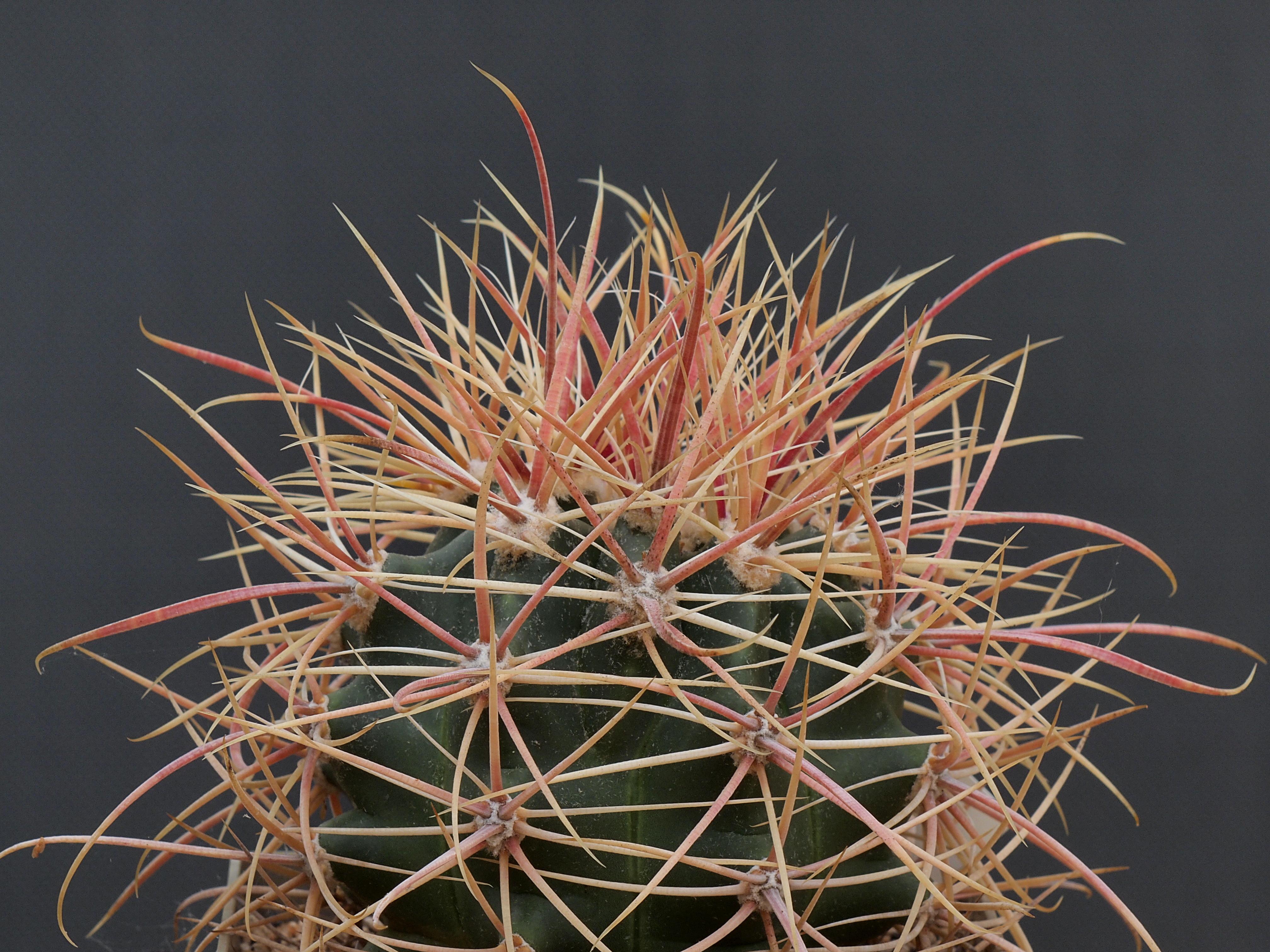 Ferocactus Acanthodes