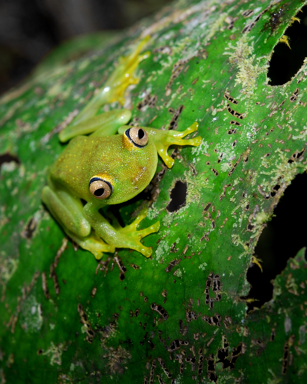 Flickr_-_ggallice_-_Treefrog_%282%29.jpg