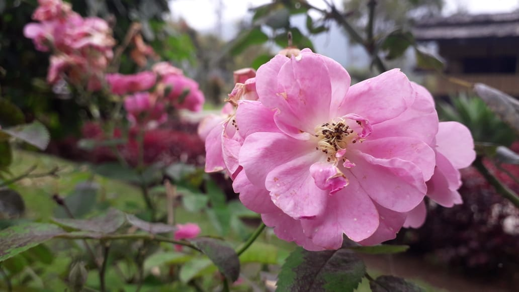 File:Garden roses868765.jpg