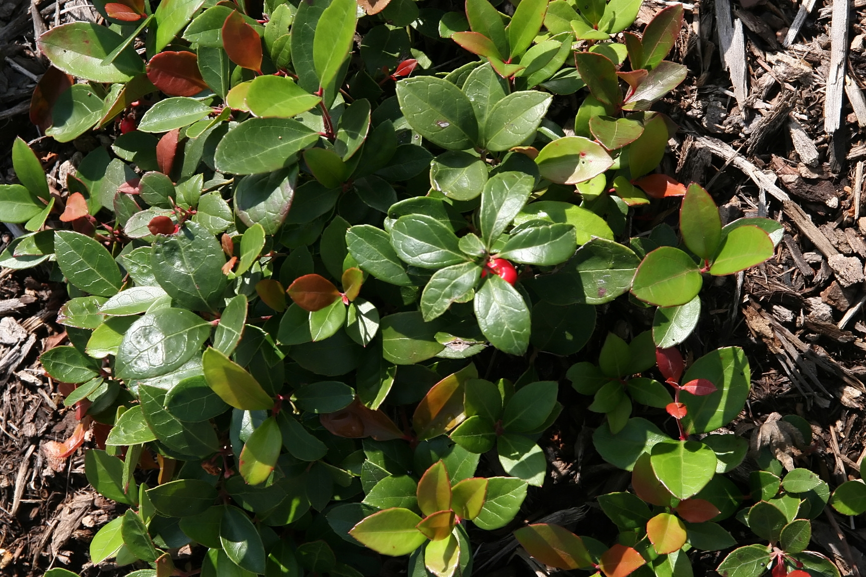 upload.wikimedia.org_wikipedia_commons_a_ad_gaultheria_procumbens_6zz.jpg