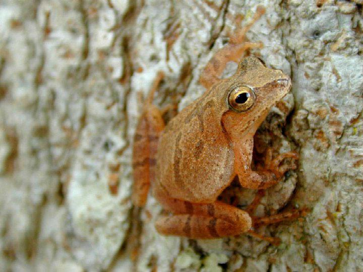 Spring peeper - Wikipedia
