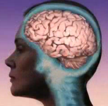 Human brain female side view.PNG