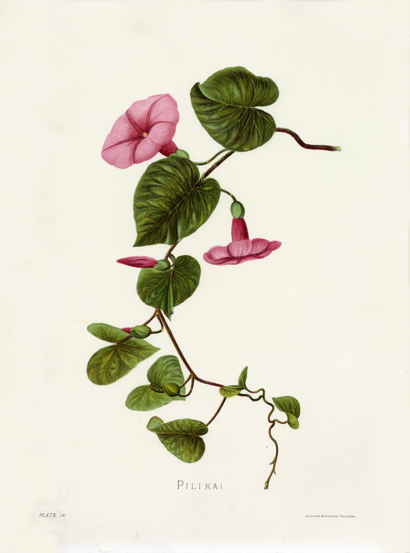 Fileindigenous flowers of the hawaiian islands plate 14g fileindigenous flowers of the hawaiian islands plate 14g izmirmasajfo