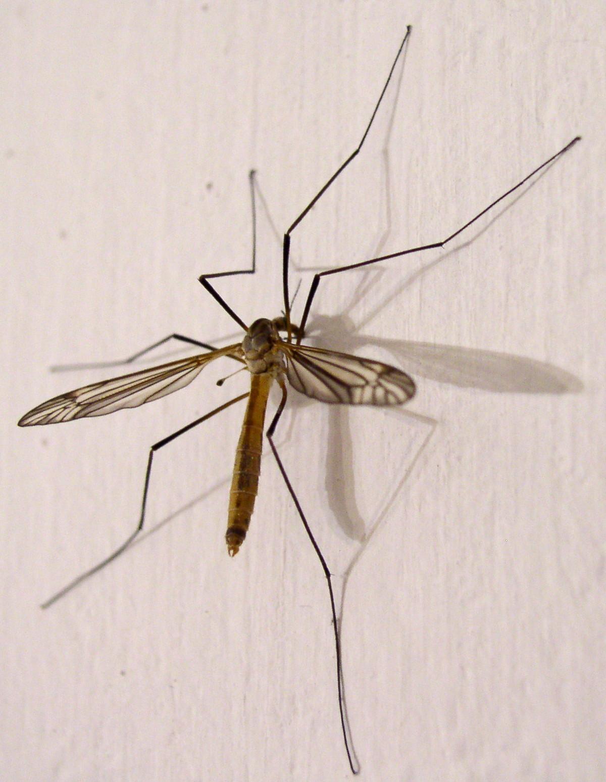 Ho visto un insetto simile ad una zanzara ma grande dieci for Larve zanzare