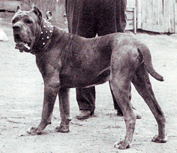 Mastiff Dog Shows