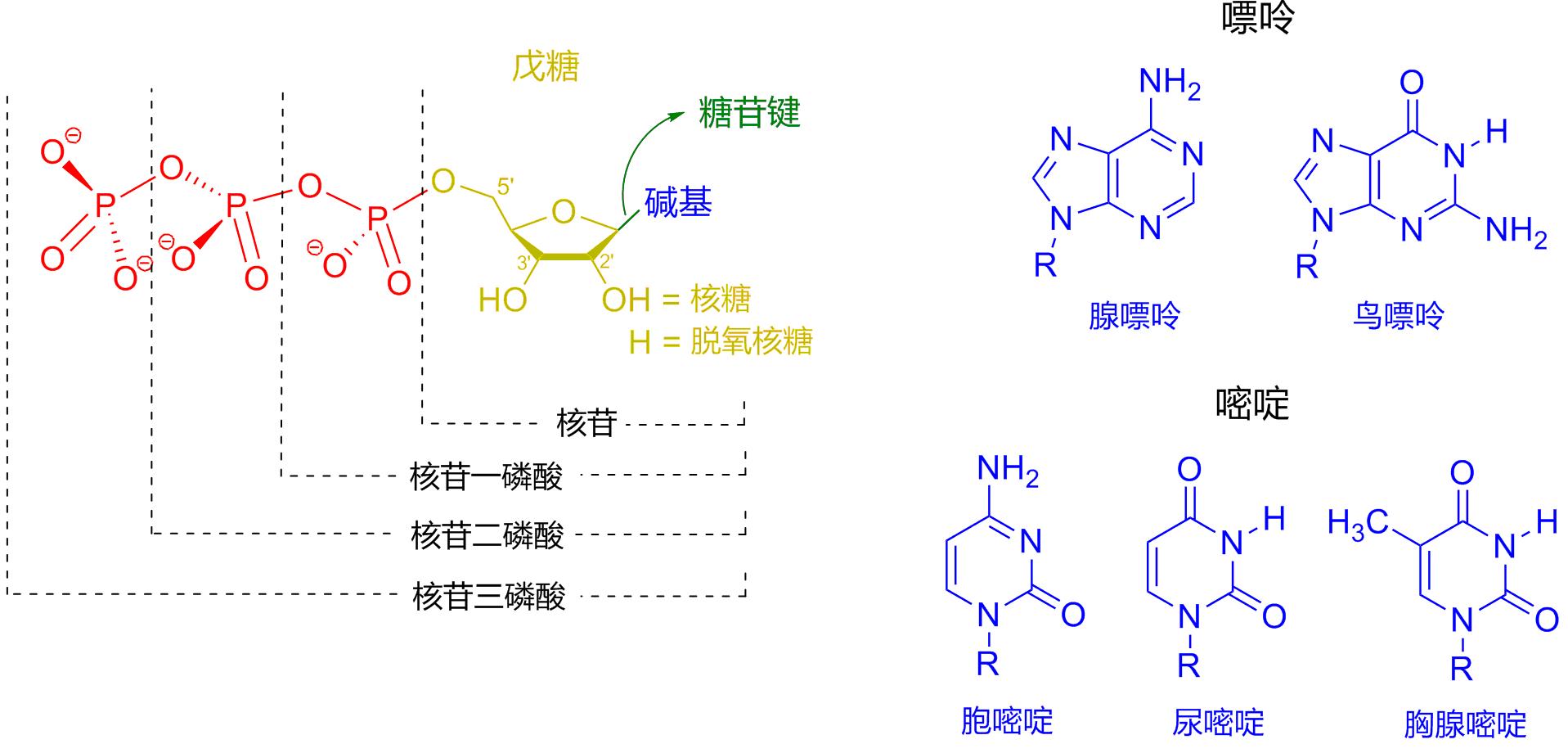 核苷酸的结构