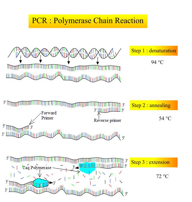 Structural Biochemistry  Polyermase Chain Reaction  How Pcr