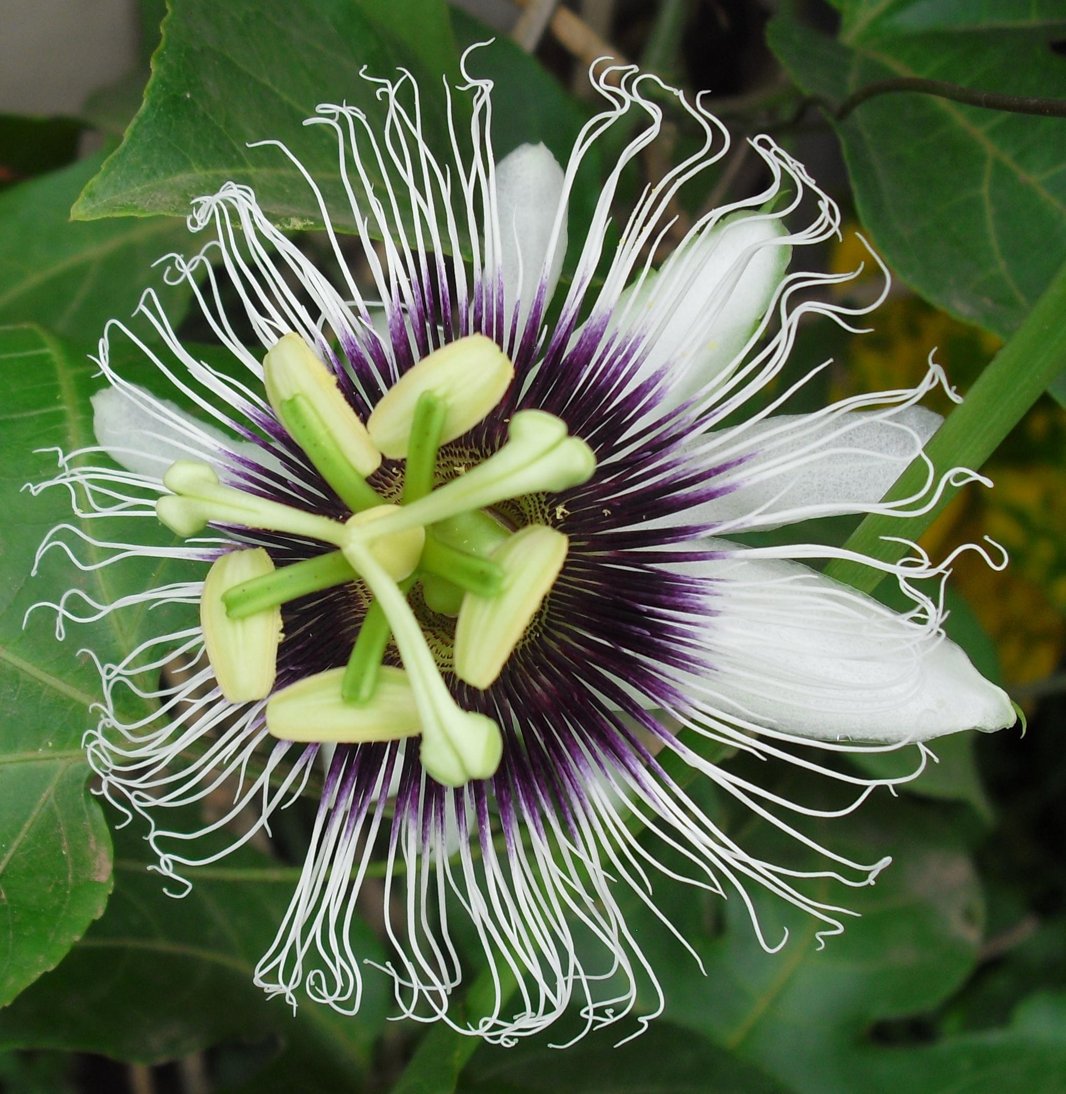 File Passion fruit flower Passiflora edulis var flavicarpa Wikimedia