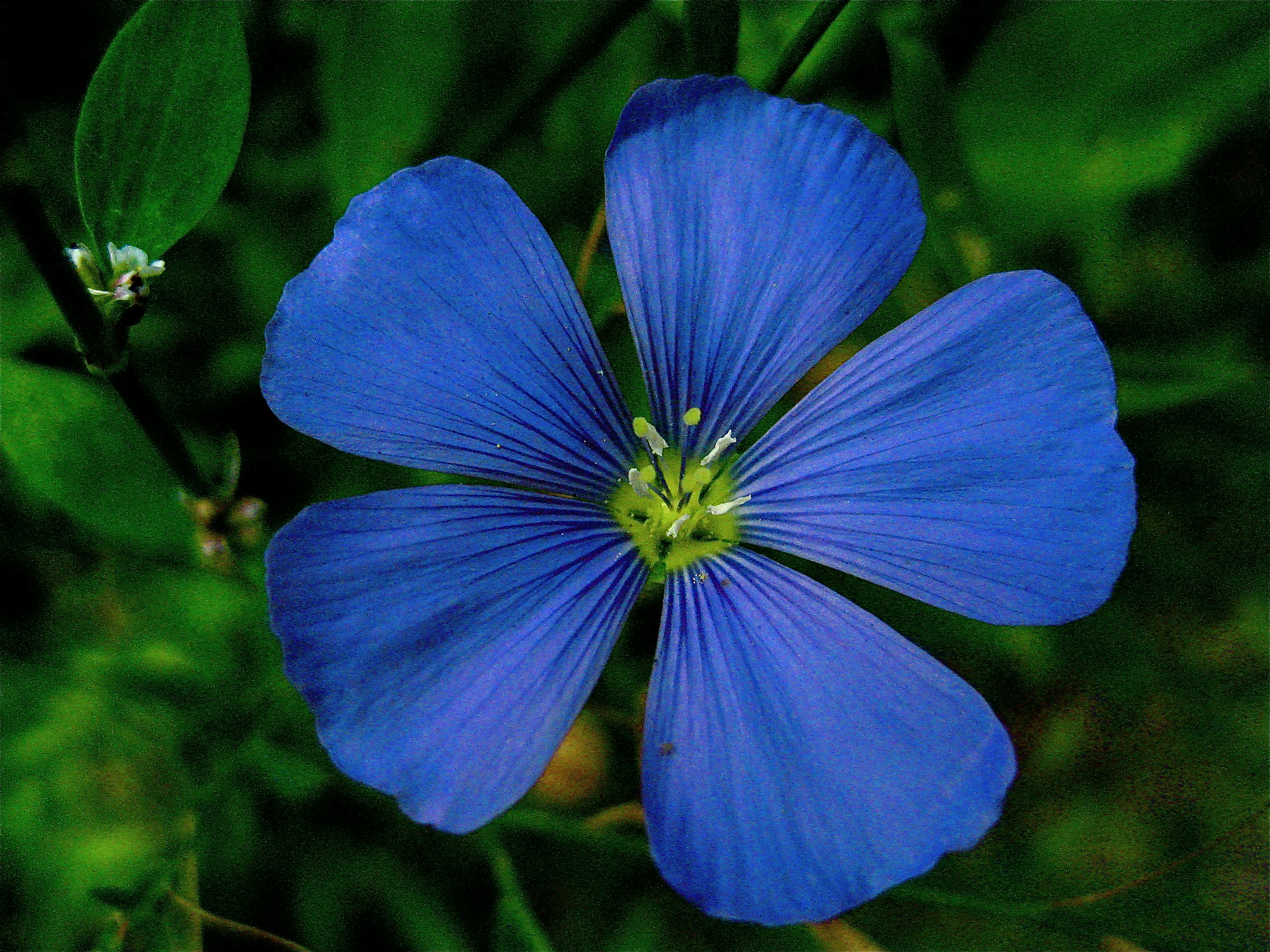 Fileperennial flax or linum perenneg wikimedia commons fileperennial flax or linum perenneg izmirmasajfo Images