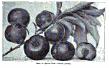 Prunus simonii.png