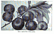 <i>Prunus simonii</i> tree in the genus Prunus