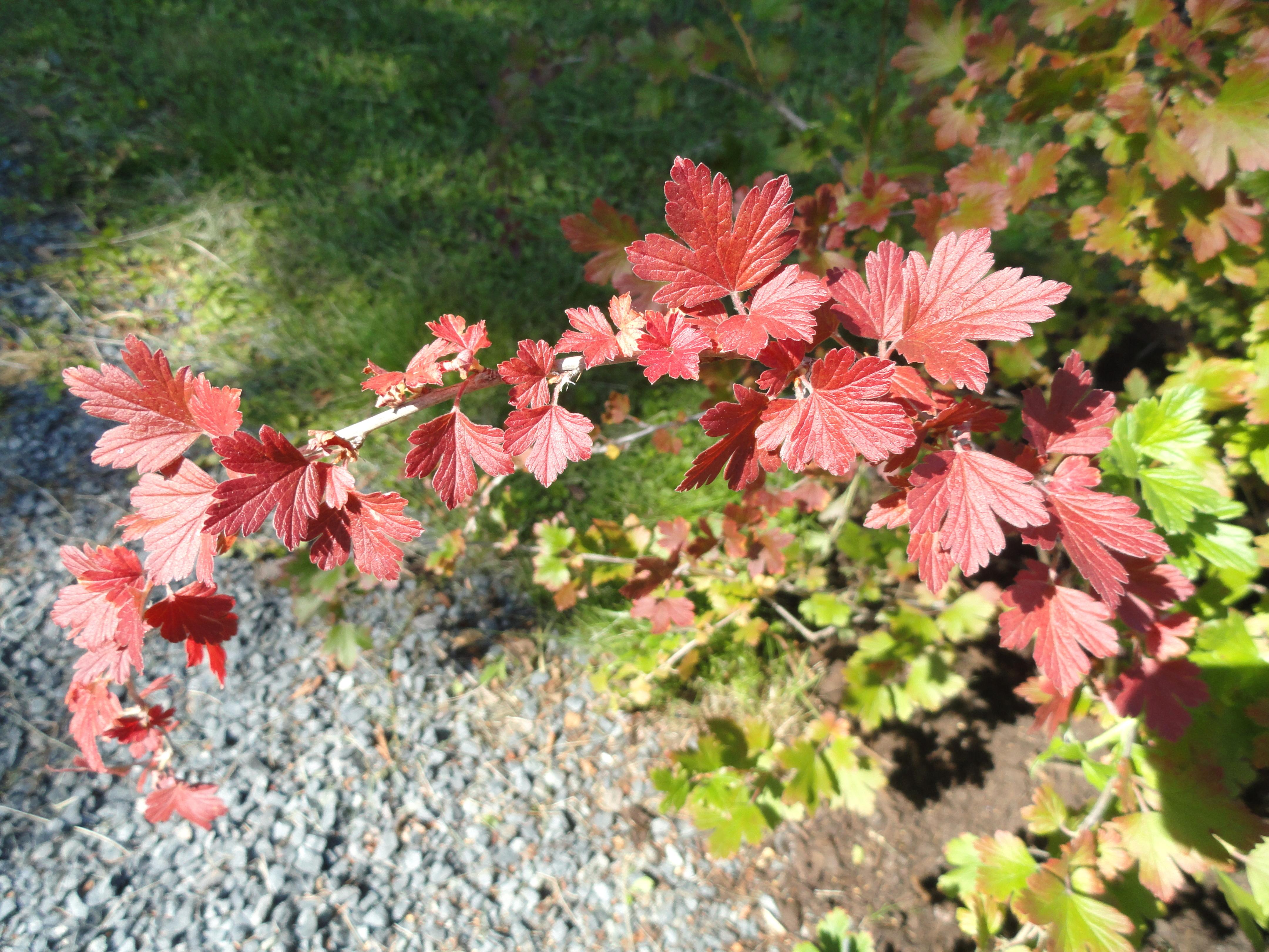 File:Ribes hirtellum - Botanical Garden in Kaisaniemi, Helsinki - DSC03482.JPG