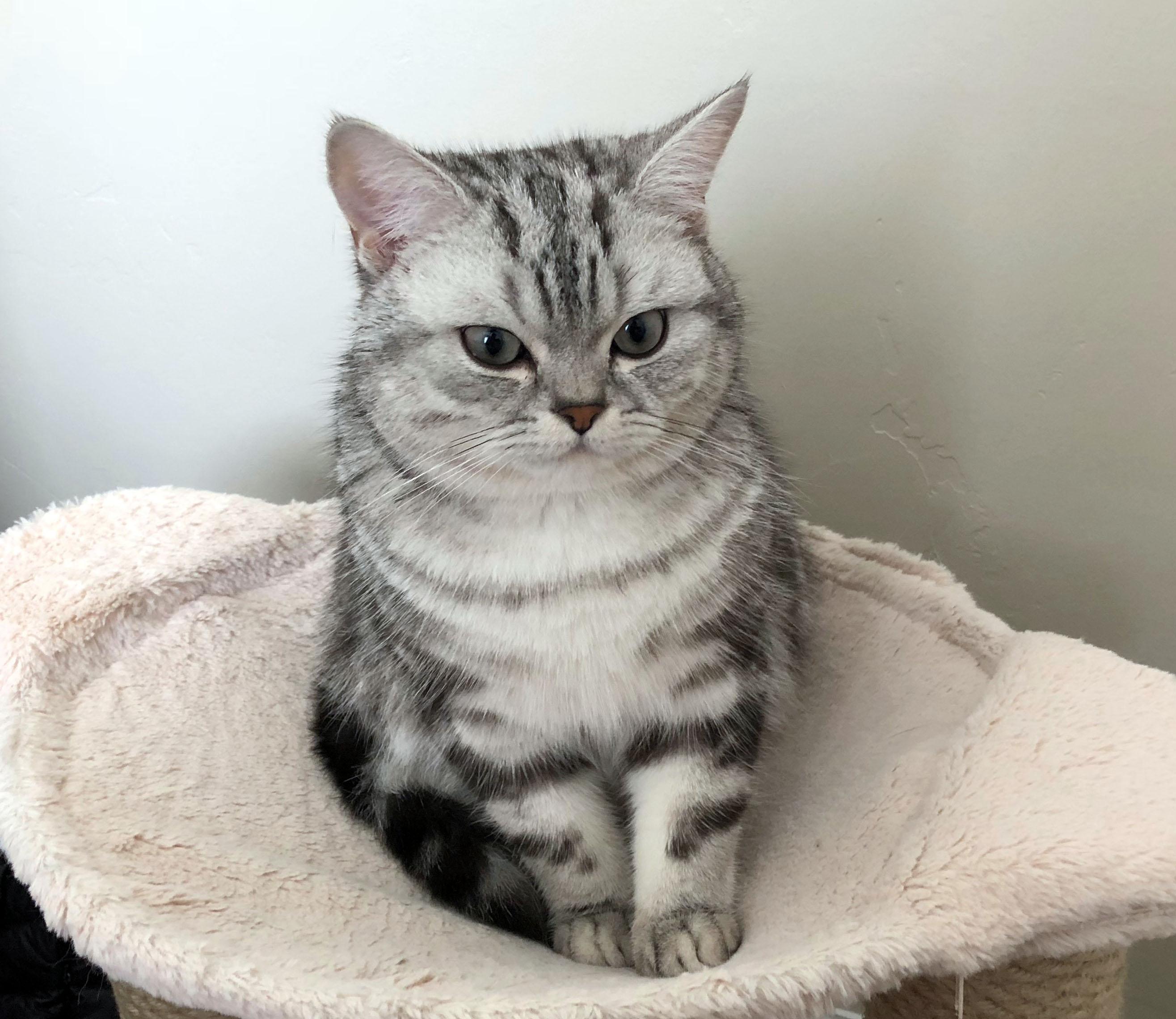 File:Silver Classic Tabby British Shorthair Kitten.jpg ...