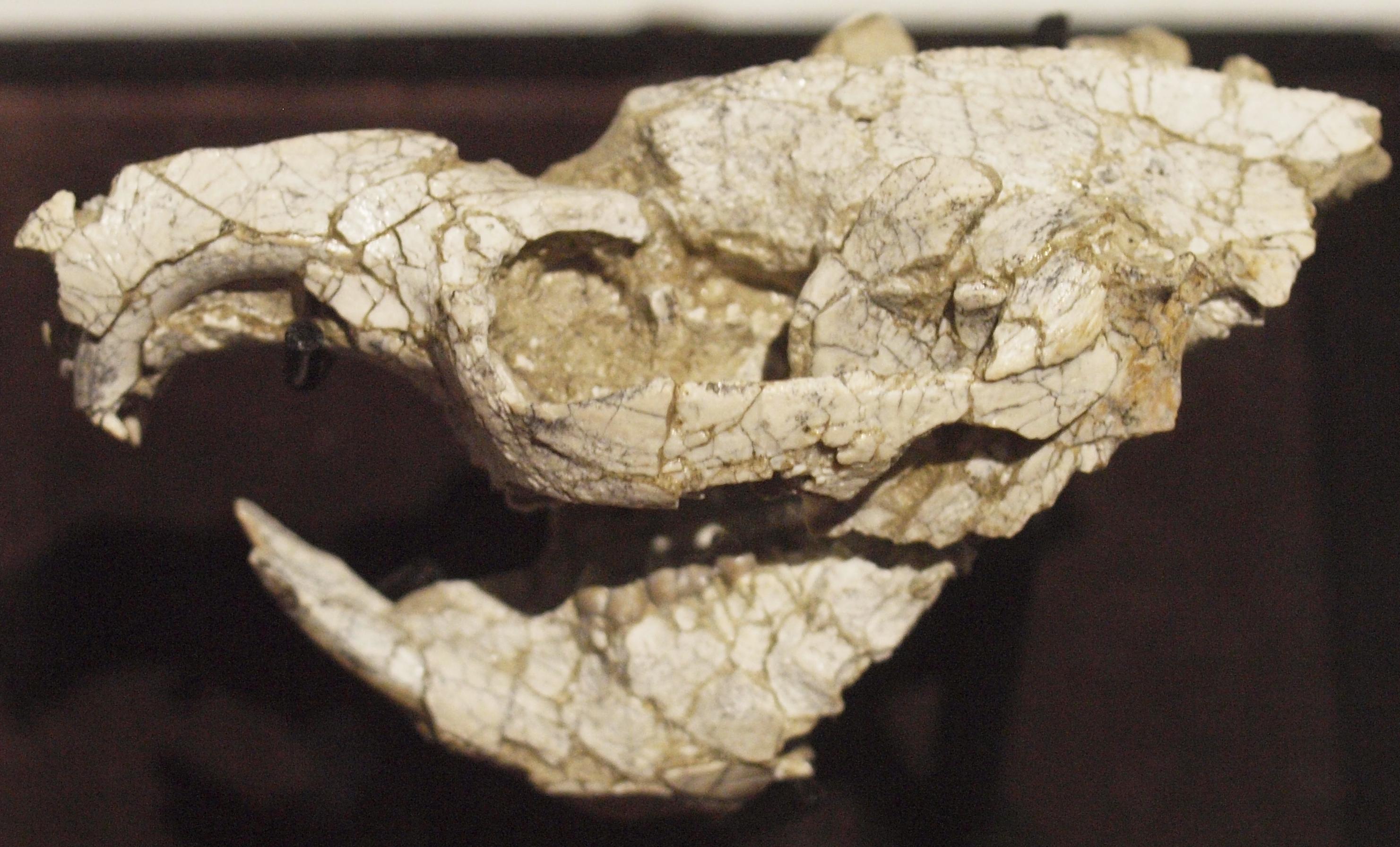 Skamenelina lebky veverice žijúcej pred 45 miliónmi rokov