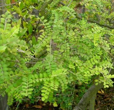 feuilles du sophora au printemps