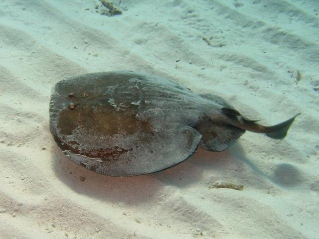 Torpedo marmorata corsica