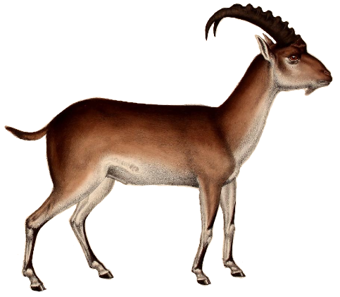 File:Walia ibex illustration white background.png