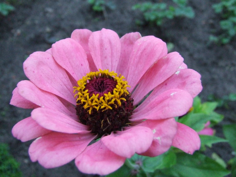 meaning of flowers meaning of flowers zinnias, Natural flower