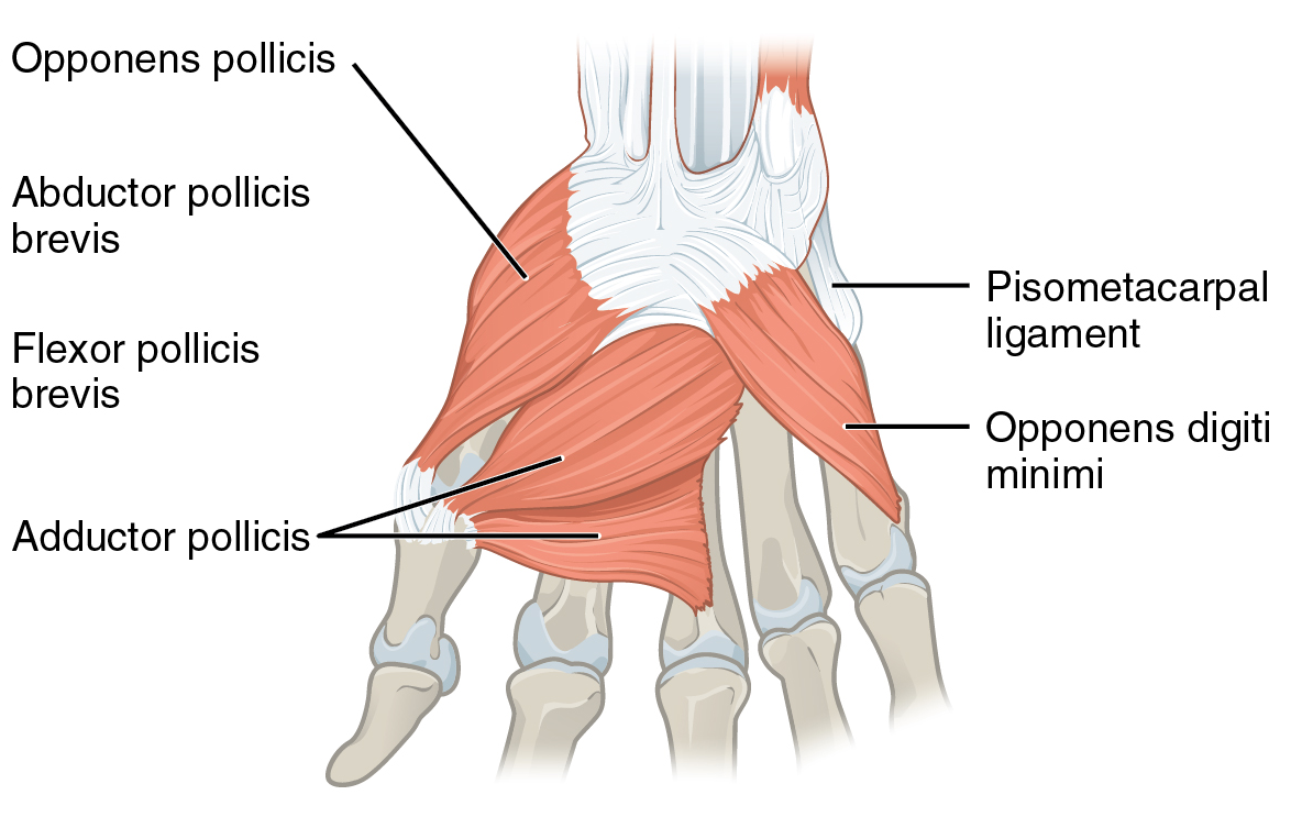 Opponens digiti minimi muscle of hand - Wikipedia