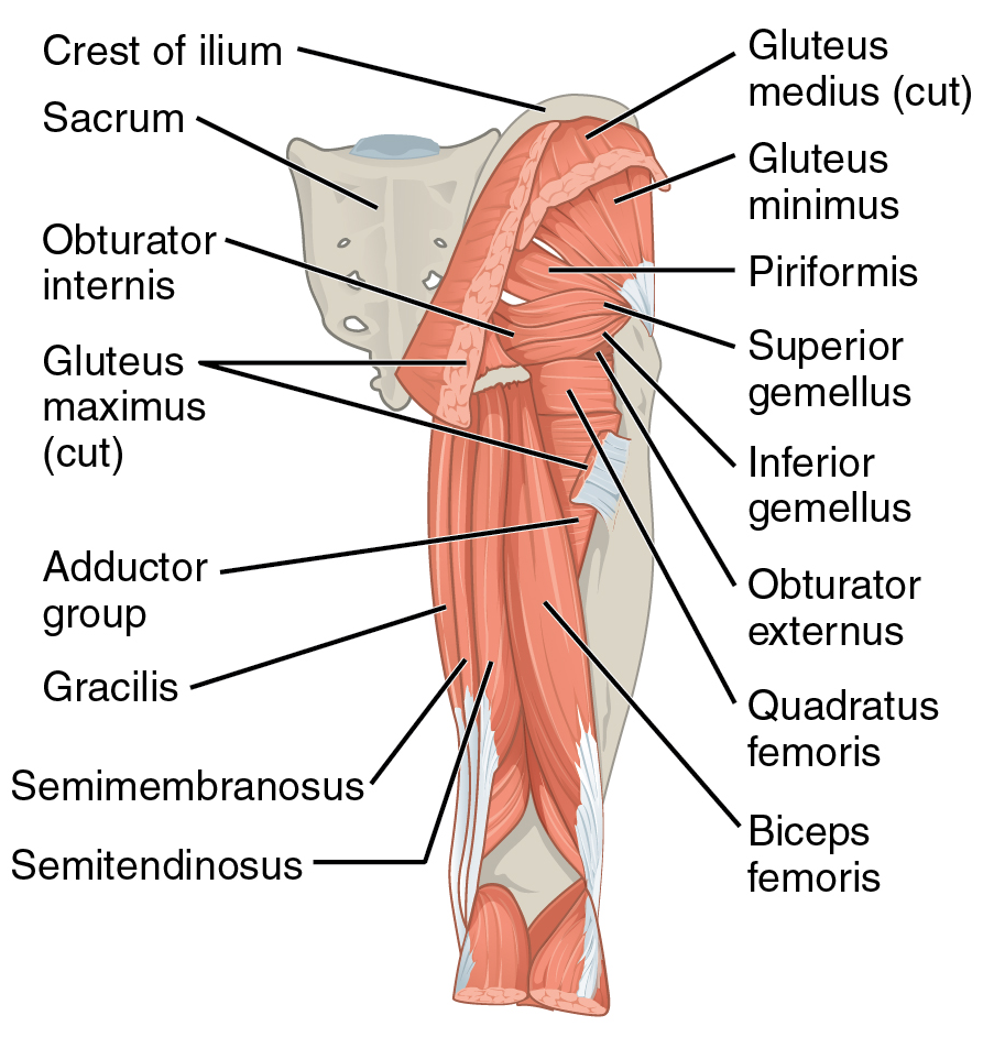 File1122 Gluteal Muscles That Move The Femur Cg Wikimedia Commons