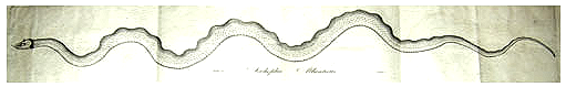 1817 serpent LinnaeanSociety Boston APS.png