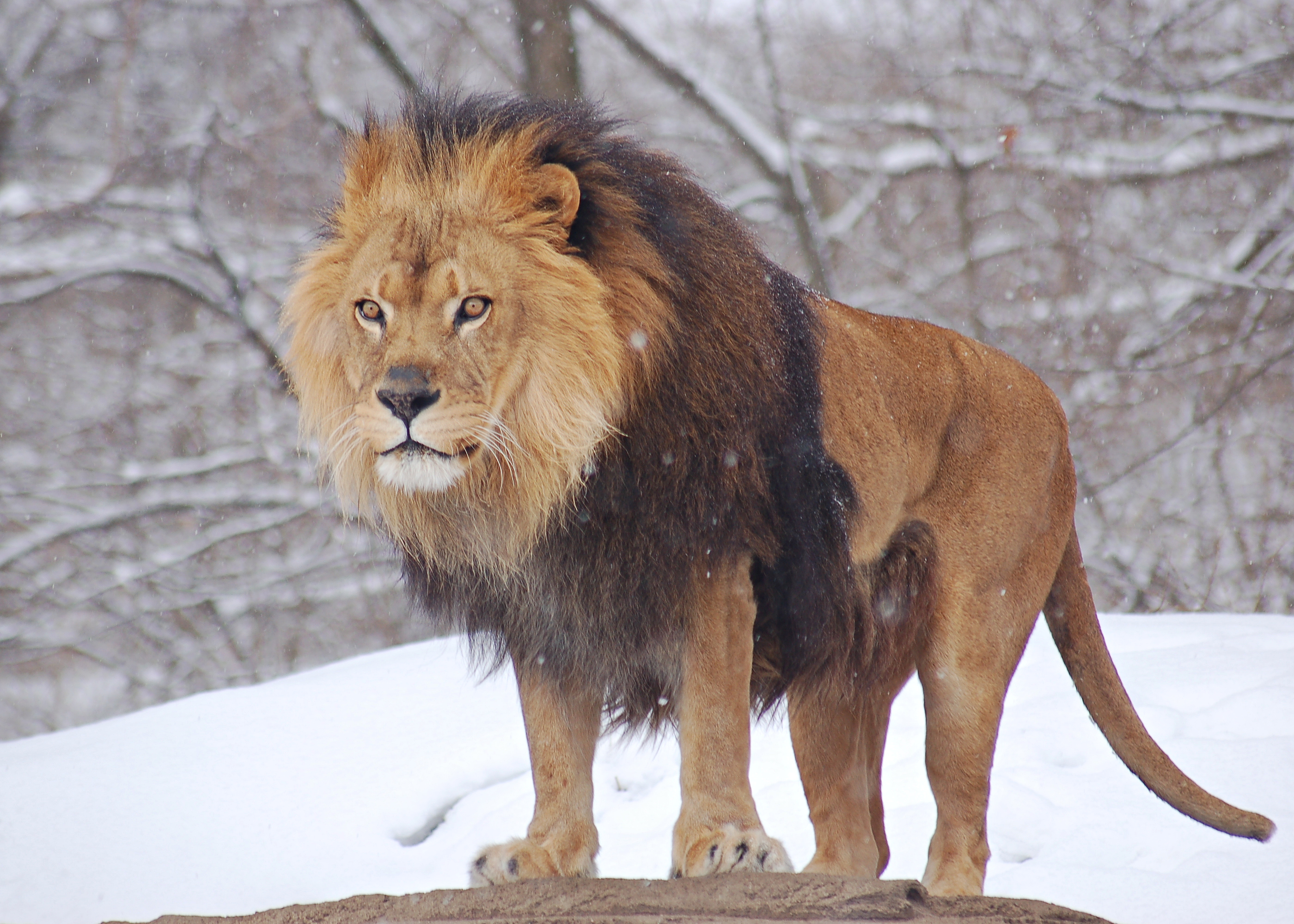 African Lion during Winter