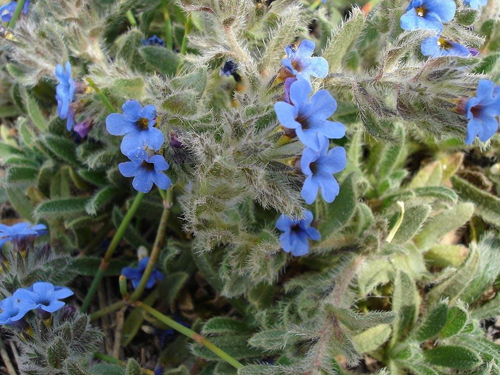 Alkannin is made from the plant alkanna tinctoria